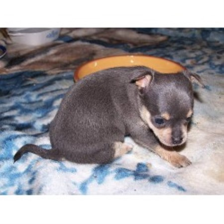 Baldwin Puppies, Chihuahua Breeder in Loxley, Alabama