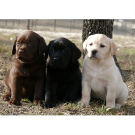 Labrador Retriever breeder Spring Branch 19005