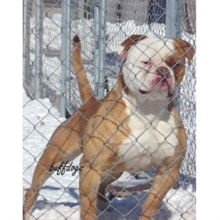 Buffdogs American Bulldog Breeder In Byers Colorado