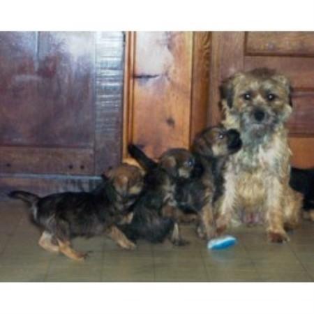 Ketka Border Terrier Breeder In Clinton Michigan