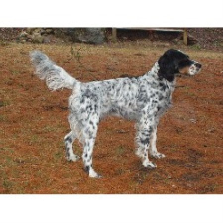 Noble Heartz Kennels, English Setter Breeder in Glenbeulah
