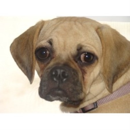 What Is A Puggle  Puggle Temperament  Is This The Right Dog For Me
