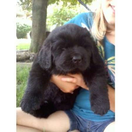 Newfoundland Dog Puppies For Sale Indiana