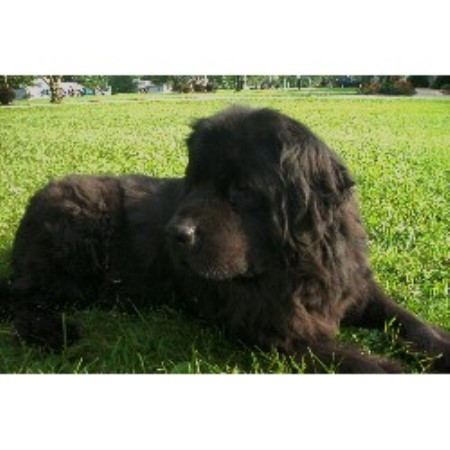 Newfoundland Dog breeder in Grafton