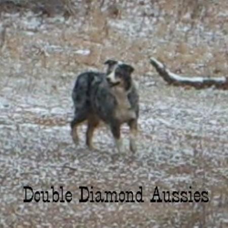 Double Diamond Aussies, Australian Shepherd Dog Breeder in Lecanto