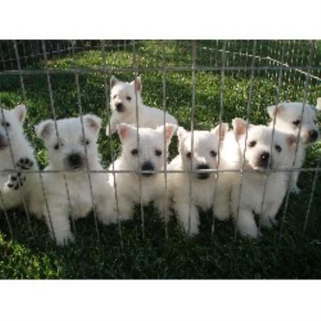 Festa Farms, West Highland White Terrier Breeder in Princeton