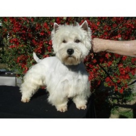 Festa Farms, West Highland White Terrier Breeder in