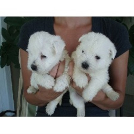 Festa Farms, West Highland White Terrier Breeder in Princeton