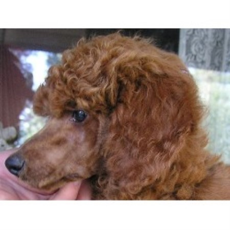 Poodle Standard breedering kennel in Bigfork