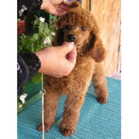 Poodle Standard breeder in Bigfork