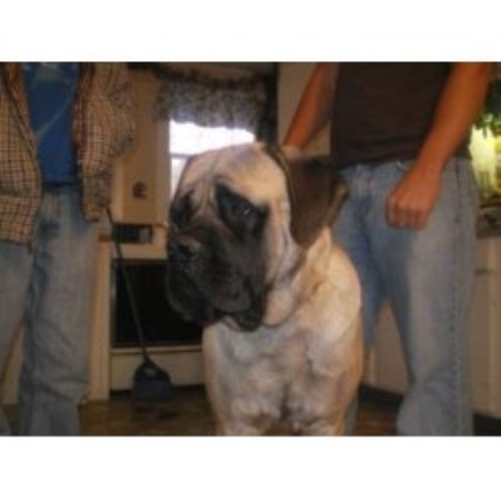 Harris Mastiffs