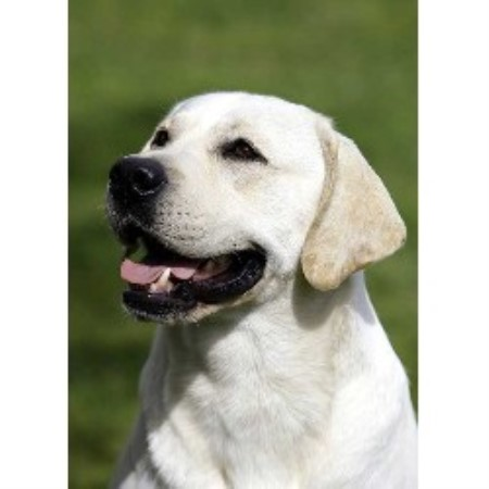 Labrador Retriever breeder in Kentucky