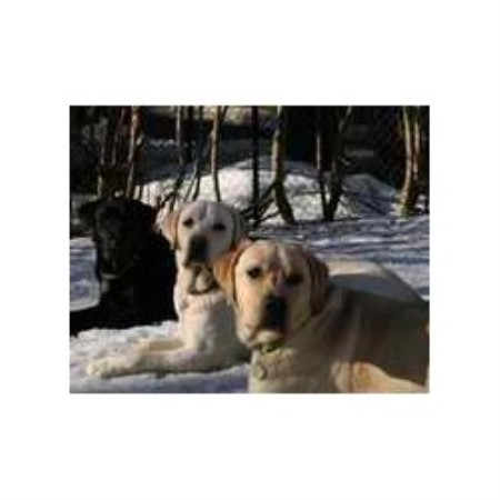 Labrador Retriever breeder in Georgetown