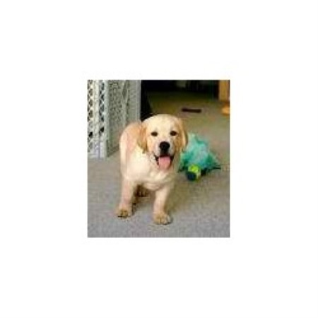 Labrador Retriever breedering kennel in Georgetown