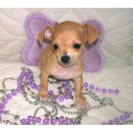 Chihuahua Puppies For Sale - AKC PuppyFinder