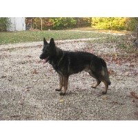 Von Kaltwasser German Shepherd Dogs
