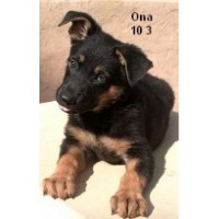 Dragon German Shepherd