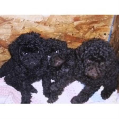 Groomrooms Miniature Poodles Poodle Miniature Breeder In