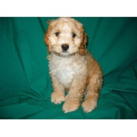 Kawartha Country Kennel Cockapoo Breeder In Apsley Ontario