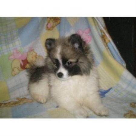 Tiny Fur Baby Pomeranian Breeder In Menifee California