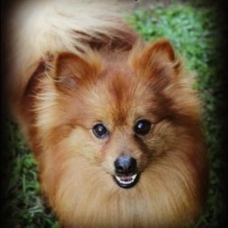 Prissy Pomeranians Pomeranian Breeder In Waco Georgia