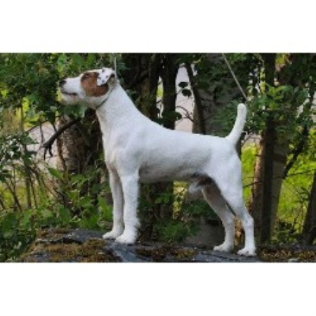 Four Winds Parson Terriers Parson Russell Terrier Breeder In Columbia Falls Montana