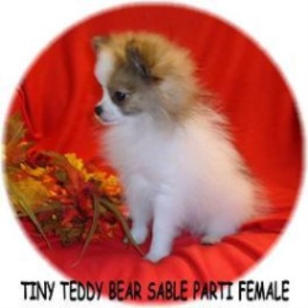 Pomeranian breeder in North Carolina