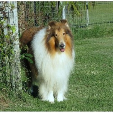 Collie breeder Alva 19324