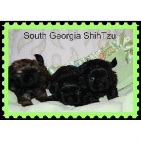 South Georgia Shihtzu Shih Tzu Breeder In Homerville Georgia