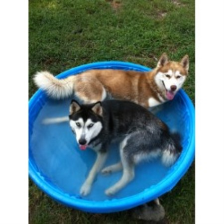 Siberian Husky breedering kennel in Starkville