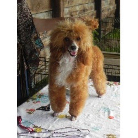 The Poodle Puddle Poodle Miniature Breeder In Belleville Ontario