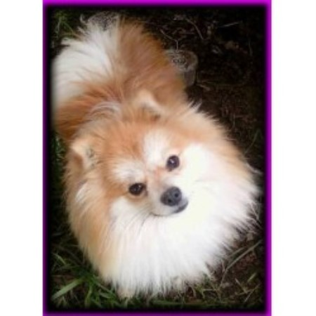 pomeranian puppies for sale in san diego diva poms pomeranian breeder in san diego california 3861