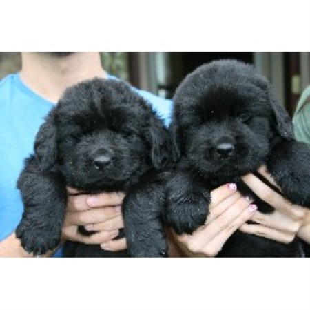 Newfoundland Dog Puppies