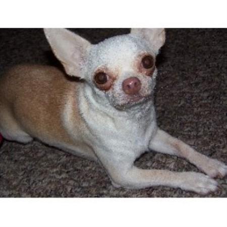 Cocos Chihuahuas Chihuahua Breeder In Saginaw Michigan