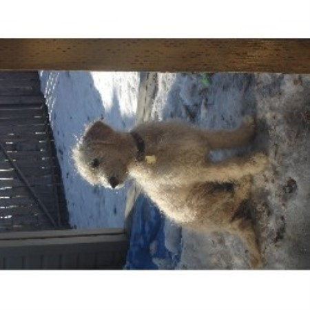 Canadian English Goldendoodles Goldendoodle Breeder In
