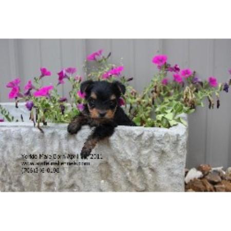 Stateline Kennels Chihuahua Breeder In Centre Alabama
