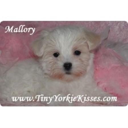 Tiny Yorkie Kisses Maltese Breeder In Vacaville California