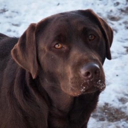 Ironhill Retrievers - Labradors , Labrador Retriever ...