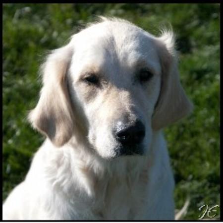 Golden Retriever Service Dog Breeders In Wisconsin