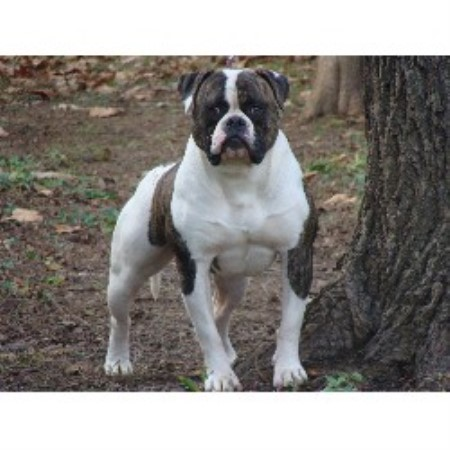 Dailey S American Bulldogs American Bulldog Breeder In