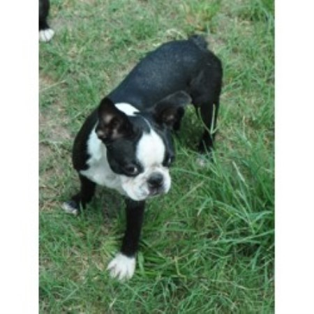 Blue Skyz Boston Terriers Boston Terrier Breeder In Live Oak Florida