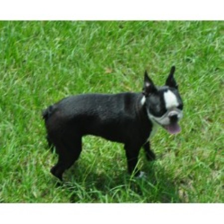 Boston Terrier breeder in Live Oak