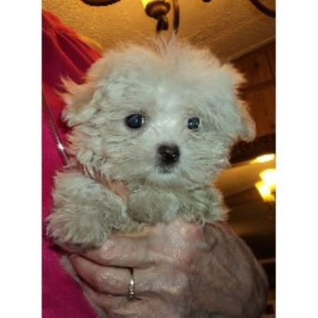 Miniloves Puppies, Shih Tzu Breeder in Lakeland, Florida