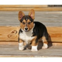 Pembroke Welsh Corgi Breeders In Indiana