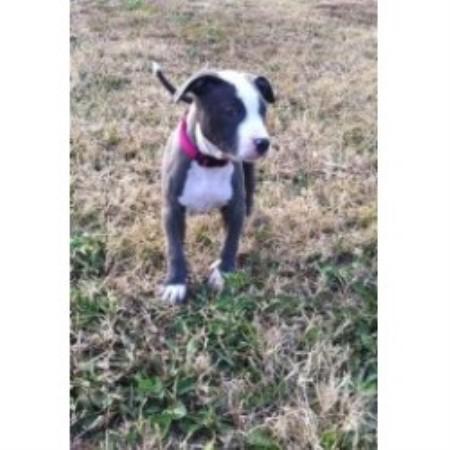 Pitbullsforapurpose, American Pit Bull Terrier Breeder in Orlinda