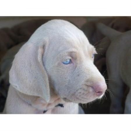 Bichon Frise Breeder In Johnston Rhode Island | Dog Breeds Picture