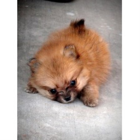 Patricia, Pomeranian Breeder in Mesa, Arizona