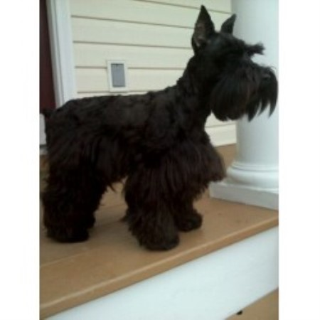 Allure Schnauzers Miniature Schnauzer Breeder In Chester Virginia