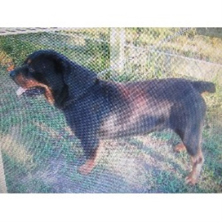Petersen Rottweiler Breeder In Buffalo Missouri