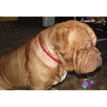 Dogue De Bordeaux breeder Ionia 19775